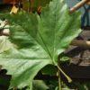 leiplataan - blad plataan