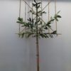 leilaurier - Prunus l. Caucasica