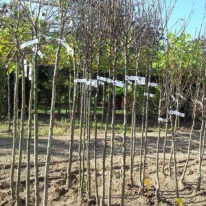 fruitbomen perenbomen pruimenboom appelboom kersenboom