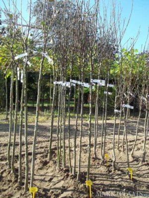 fruitbomen perenbomen perenboom