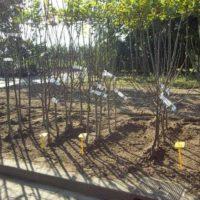 fruitbomen perenboom perenboom