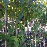 pindakaasboom