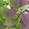 pindakaasboom blad
