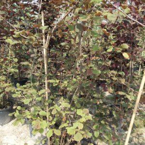Corylus max. Purpurea - paarse hazelaar
