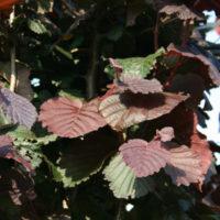 rode hazelaar - Corylus maxima purpurea