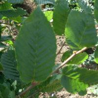 lei haagbeuk carpinus betulus