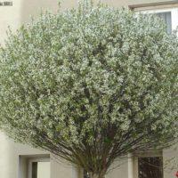 bolkers bolprunus Prunus Umbracuilfera
