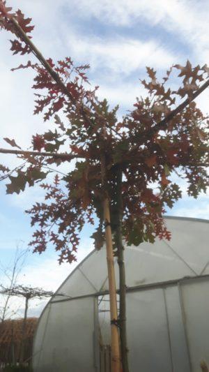 dakeik - quercus palustris