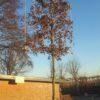 leihaagbeuk - carpinus betulus -leibeuk