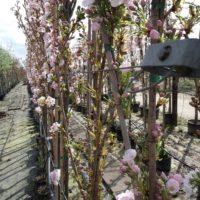 zuilkers sierkers zuilboom Prunus Amanogawa