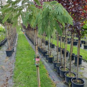 Perzische slaapboom - Albizia tropical dream
