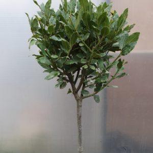 laurus nobilis - Eetbare laurier