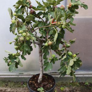 Ficus Carica - Vijgenboom