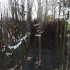 Leipruim Leikers Leiboom Fruitboom kersenboom