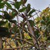 leimagnolia grandiflora
