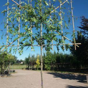 lei-eik Quercus palustris leiboom