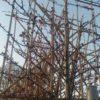 leisierpruim Prunus cer nigra