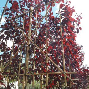 prunus nigra leiboom leisierpruim