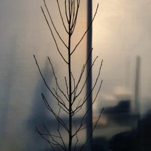 zakdoekenboom - Davidia involucrata